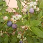 ブルーベリー鉢植えのようす