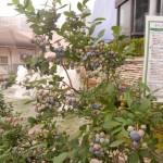 柏駅近くのブルーベリー鉢植えのようす
