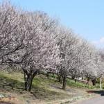 ★あけぼの山農業公園・梅園★梅が見頃を迎えています