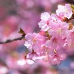 【あけぼの山農業公園・プラザ広場】河津桜が満開です