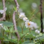 【あけぼの山農業公園・園路】ヒメウツギやシラユキゲシが咲いています。