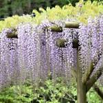【あけぼの山農業公園】★プラザ広場★藤棚の藤が咲いています!