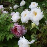 [あけぼの山農業公園] ★日本庭園★牡丹が咲いています。