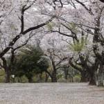 【あけぼの山公園(さくら山)】桜は満開を過ぎ、散り始めました。
