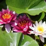 【あけぼの山農業公園】風車広場前の池ではスイレンが咲いています。