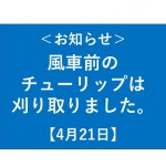 風車前花畑チューリップ刈取りについて【4/21】