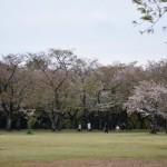 【あけぼの山公園 さくら山・日本庭園】4月7日(火)ソメイヨシノ等 見頃を過ぎました