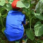 【食用ヒマワリ油づくり】ヒマワリの除草作業・成長の様子