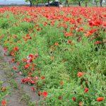 【あけぼの山農業公園】5月7日(金)風車前花畑の隣にポピーの花が咲き始めました