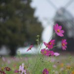 【あけぼの山農業公園】10月13日(水)風車前花畑のコスモスは見頃です。
